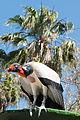 Sarcoramphus papa in Jungle Park, Tenerife.jpg