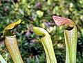 "Sarracenia ""Monster Mash"" x open-pollinated (4756875465).jpg"