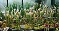 Sarracenia leucophylla Liberec 1.jpg