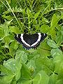 Saskatoon-butterfly.jpg