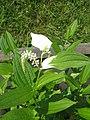 Saururus chinensis2.jpg