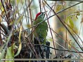 Scaly-bellied Woodpecker (Picus squamatus) (15895059405).jpg