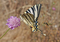 Scarce swallowtail, Scabius flower and Polistine wasp.png