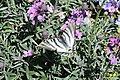 Scarce swallowtail (Madrid, Plaza de España) (33514118044).jpg