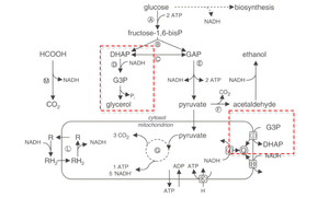 Glycerol-3-phosphate dehydrogenase - Image: Schematic overview of fermentative and oxidative glucose metabolism of Saccharomyc