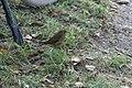Schiermonnikoog - Roodborst (Erithacus rubecula) v2.jpg