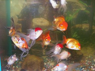 Freshwater aquarium - A heavily stocked fancy goldfish aquarium