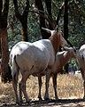 Scimitar-horned Oryx (2700938819).jpg