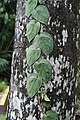 Scindapsus pictus 3363.jpg