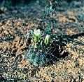 Sclerocactus parviflorus ssp variiflorus fh 56 AZ BB.jpg