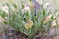 Scutellaria nana BLM.jpg