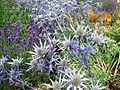 Sea Holly, Lavender and 'Red Hot Pokers', Portobello (14795900173).jpg