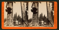 Section of the Big Tree, 30 feet in diameter, and House over the Stump, from the Sentinels, by Lawrence & Houseworth 4.png