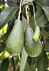 A Seedless Avocado Or Cuke Growing Next To Two Regular Avocados