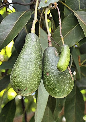 Avocado - A seedless avocado, or cuke, growing next to two regular avocados