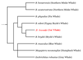 Sei Whale Cladogram.PNG