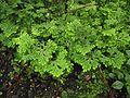 Selaginella pallescens.jpg