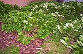 Selaginella sp., Mt Coot-tha Botanic Gardens, Toowong 100 9728.jpg