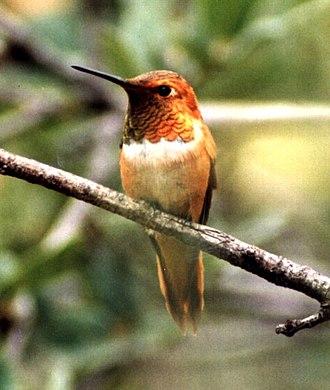Rufous hummingbird - A perched male rufous hummingbird