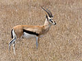 Serengeti Thomson-Gazelle1.jpg
