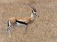 Gazelle de Thomson