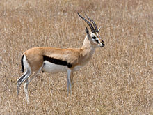 Serengeti Thomson-Gazelle1.jpg