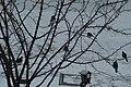 Seven Blue Jays in a Snow Storm -- Drummond Island in Winter.jpg
