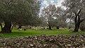 Sheep in Gortys.jpg