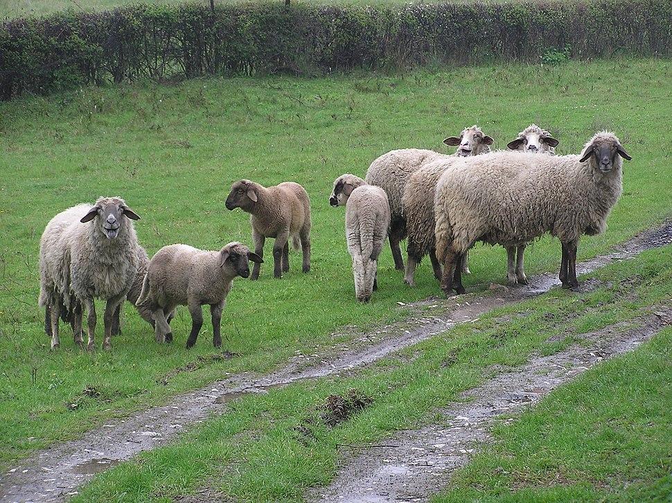 Sheep in Serbia.jpeg