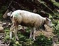 Sheep in Switzerland.jpg