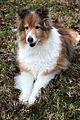 Sheltie color brown white.JPG