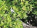 Shore birds, mangrove tour (24569811891).jpg