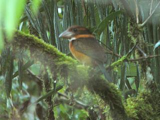 Shovel-billed kookaburra species of bird