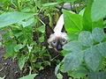 Siamese kitten.jpg
