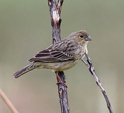 Sicalis citrina - Stripe-tailed yellow finch (female).JPG