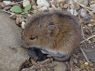 Dipodidae - Northern birch mouse (Sicista betulina), Sicistinae