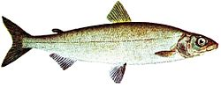 Common whitefish