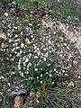 Silene alba Habitus 2009April26 SierraMadrona.jpg