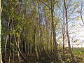 Silver Birch Woodland in Autumn.jpg