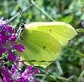 Sitronsommerfugl04.jpg