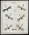 Six dragonflies (Libellulæ species); adults and larva. Colou Wellcome V0022484EL.jpg