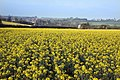 Sixpenny Handley and early spring Rape field - geograph.org.uk - 394379.jpg