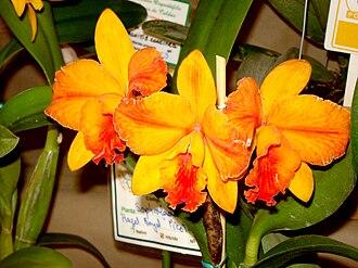 × Sophrolaeliocattleya - Slc. Hazel Boyd (now Ctt. Hazel Boyd) = C. California Apricot × Ctt. Jewel Box