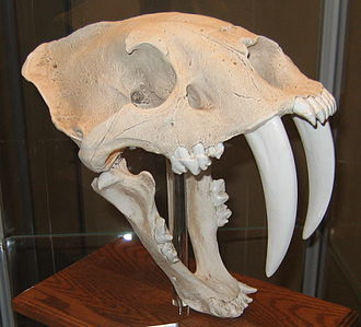 Felidae - Skull of the machairodontine Smilodon (reconstruction)