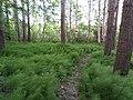 Snake grass (Equisetum) in Kortepohja 2.jpg