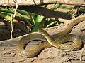 Snake sk.jpg