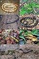 Snakes (10.3897-zookeys.757.24453) Figure 5.jpg