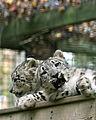 Snow Leopard cubs-mailer cover.JPG