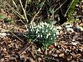 Snowdrops in Steps Hill Wood - geograph.org.uk - 133538.jpg