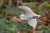 Snowy Egret flying 0587